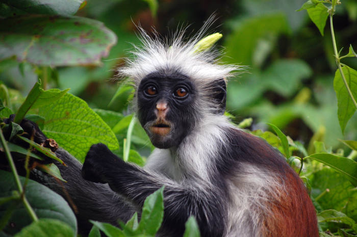 Fuzzy Monkey testing distributed systems - Red Colobus from Wikipedia